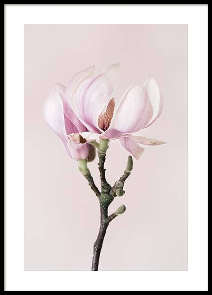 Magnolia Dream Poster in the group Prints / Photographs at Desenio AB (10211)