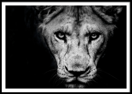 Lioness Close Up Poster in the group Prints / Black & white at Desenio AB (11259)