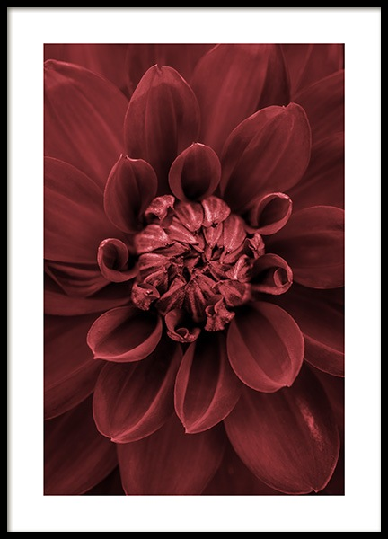 Red Dahlia Poster in the group Prints / Floral at Desenio AB (11790)