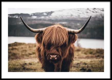 Scottish Highland Cattle Poster in the group Prints / Animals at Desenio AB (11853)