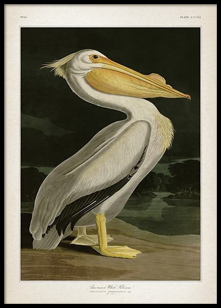 American White Pelican Poster in the group Prints / Vintage at Desenio AB (12171)