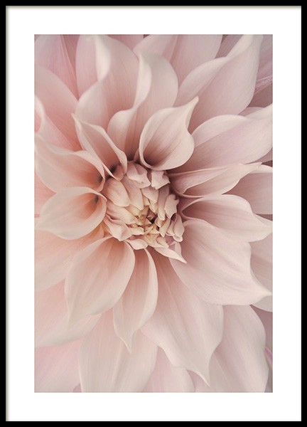 Pink Dahlia Poster in the group Prints / Floral at Desenio AB (12261)