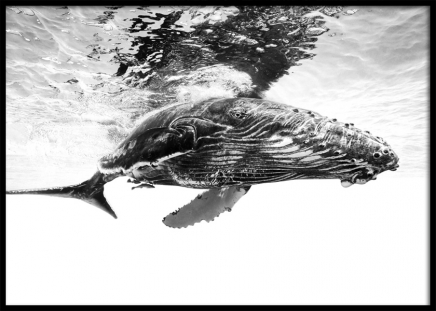 Humpback Whale B&W Poster in the group Prints / Black & white at Desenio AB (12306)