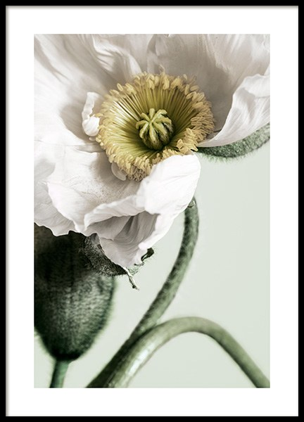 White Poppy Close Up Poster in the group Prints / Floral at Desenio AB (12319)