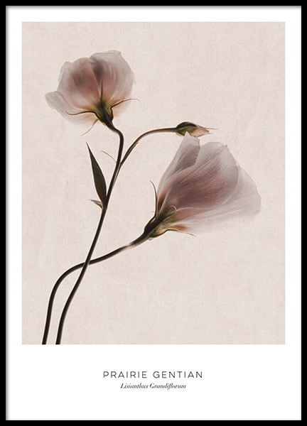 Prairie Gentian Poster in the group Prints / Floral at Desenio AB (12997)
