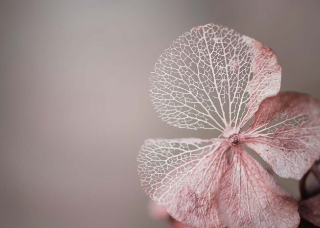 Hydrangea Skeleton Pink Poster / Photographs at Desenio AB (10037)