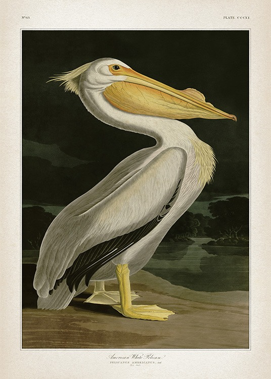 American White Pelican Poster / Vintage at Desenio AB (12171)