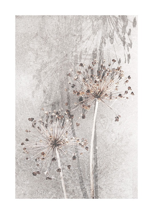 Dried Allium Flowers No1 Poster / Photographs at Desenio AB (12661)
