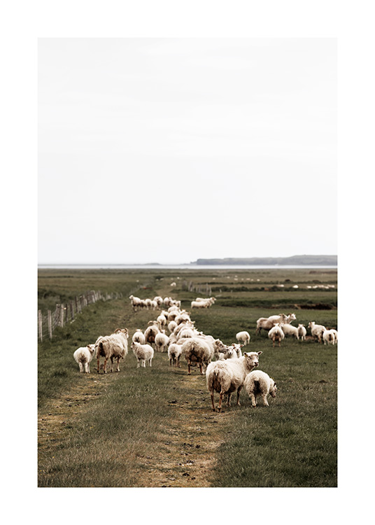 - Photograph of large herd of sheep walking on green landscape on Iceland