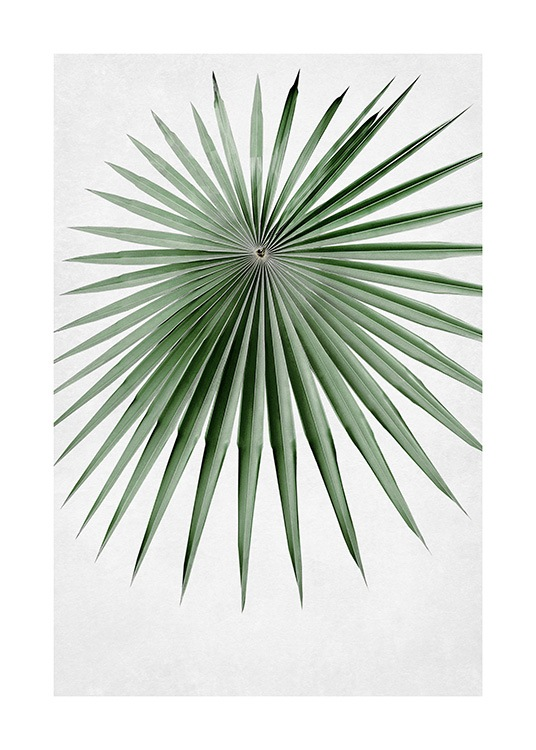 – Photograph of a round fan palm leaf in green with narrow and pointy leaves