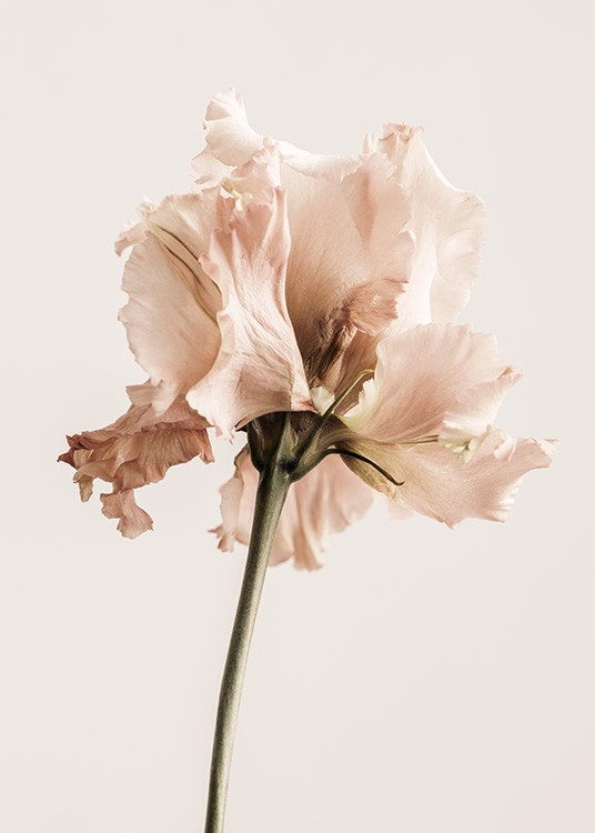 – Photograph of a gentiana flower in light pink on a light beige background