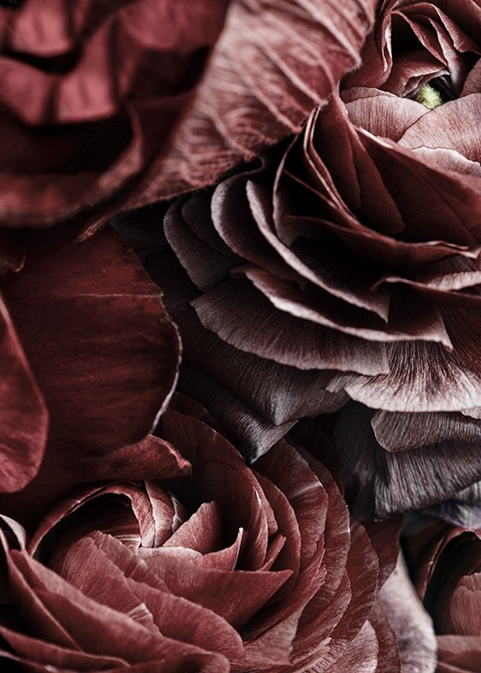 – Photograph with details of a bunch of dark red anemones