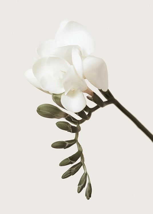 – Photograph of a freesia with green buds and a white flower against a beige background