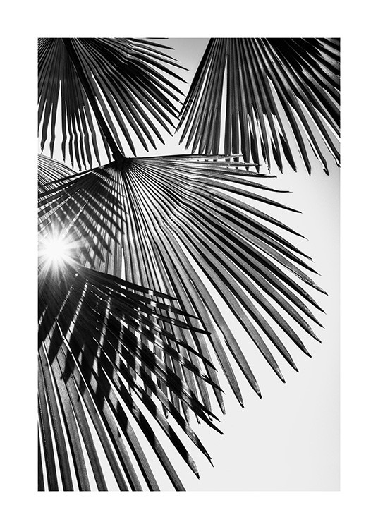 – Black and white photograph with sunlight shining through fan palm leaves