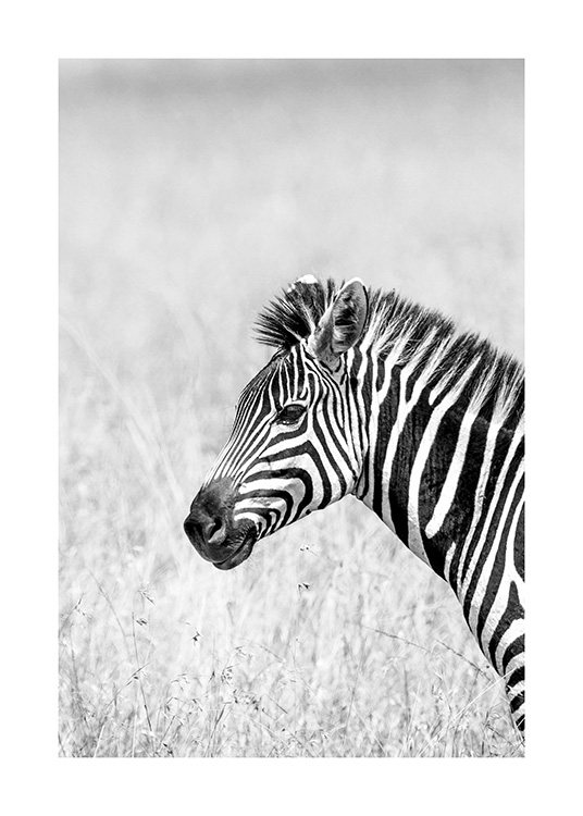 – Black and white photograph of a zebra in profile, surrounded by grass
