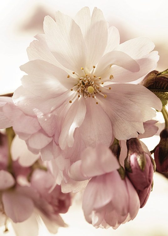 – Photograph with close up of cherry blossoms in pink