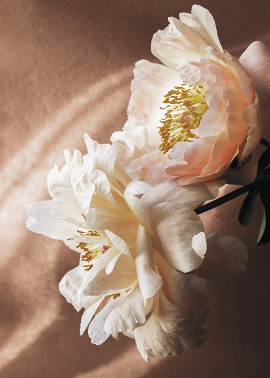 – Photograph of a white and pink poppy flower against a brown background