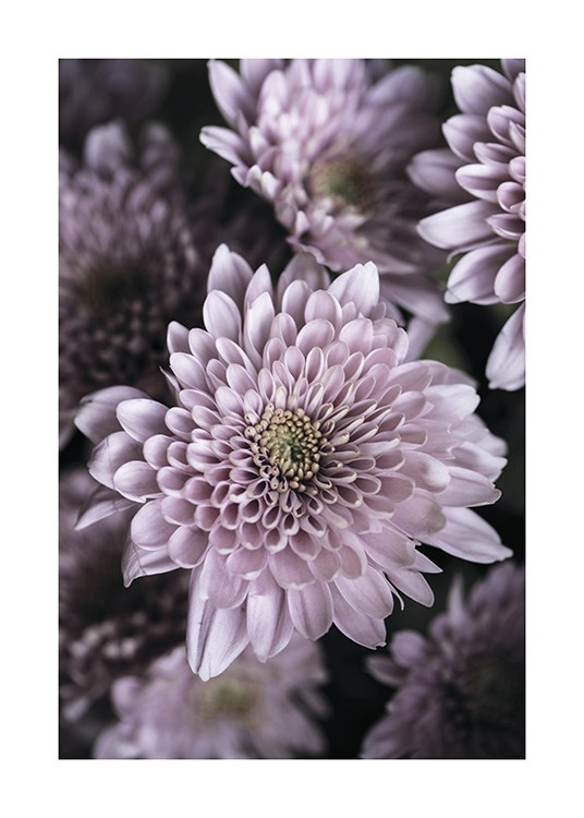 – Close up photograph of a bunch of dahlias in light purple