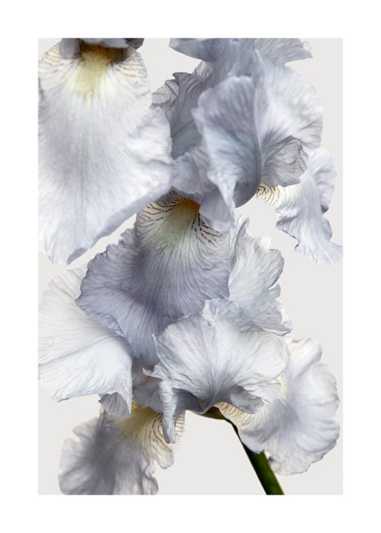 – Photograph with close up of a light blue iris flower against a light grey background