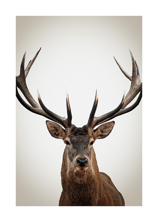 – Photograph of a deer from the front with large antlers, on a beige background