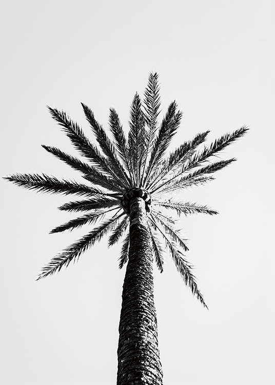 – Black and white photograph of a large palm tree seen from underneath