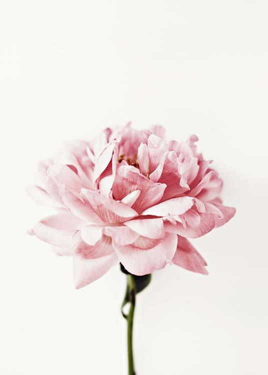 Pink Peony Poster / Photographs at Desenio AB (2291)