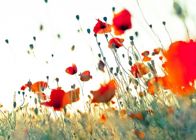 Poppy Field Poster / Nature at Desenio AB (2412)
