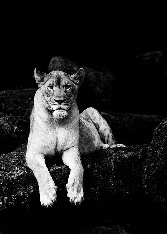 Lioness B&W Poster / Black & white at Desenio AB (2908)