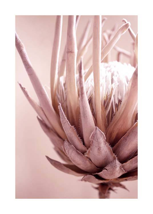 Protea Flower Poster / Photographs at Desenio AB (3529)